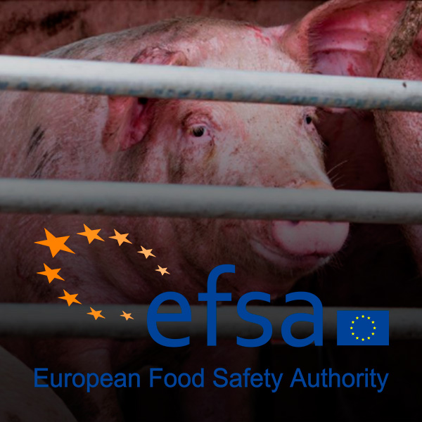 African swine fever: risks from feed, bedding and transport