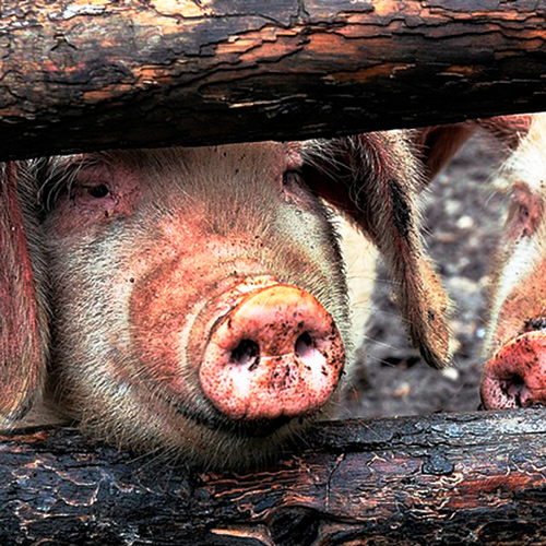 Haiti reports African Swine Fever from province bordering Dominican Republic